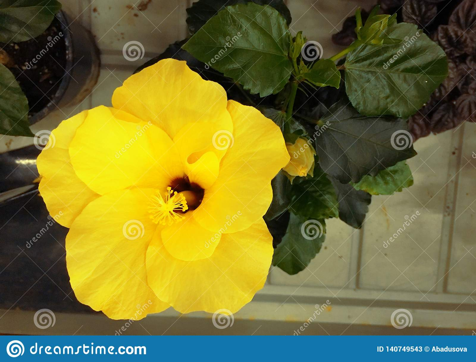 Bright yellow large flower of purple hibiscus rose sinensis on green leaves natural background. Karkade tropical garden