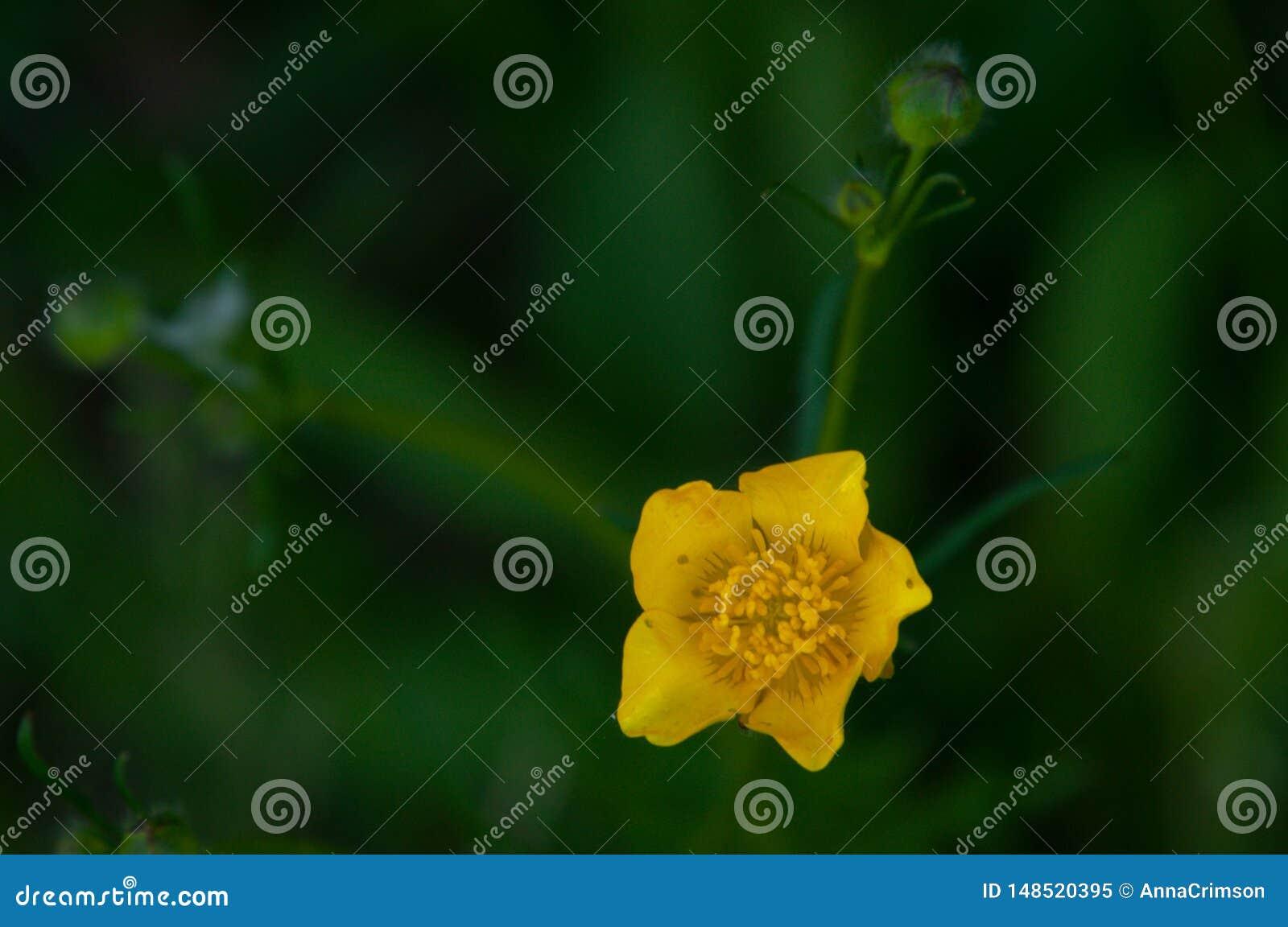 Marsh-marigold close-up