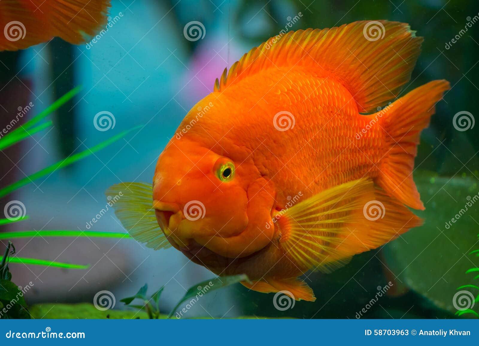 Parrot Fish In The Aquarium Stock Image - Image of water ...
