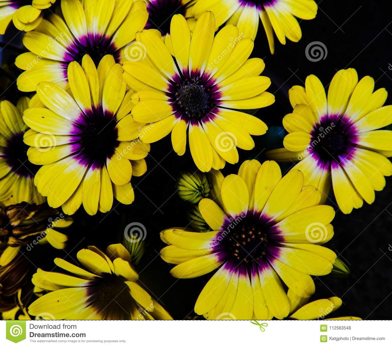 Bright Yellow And Purple African Daisies Against A Black Background