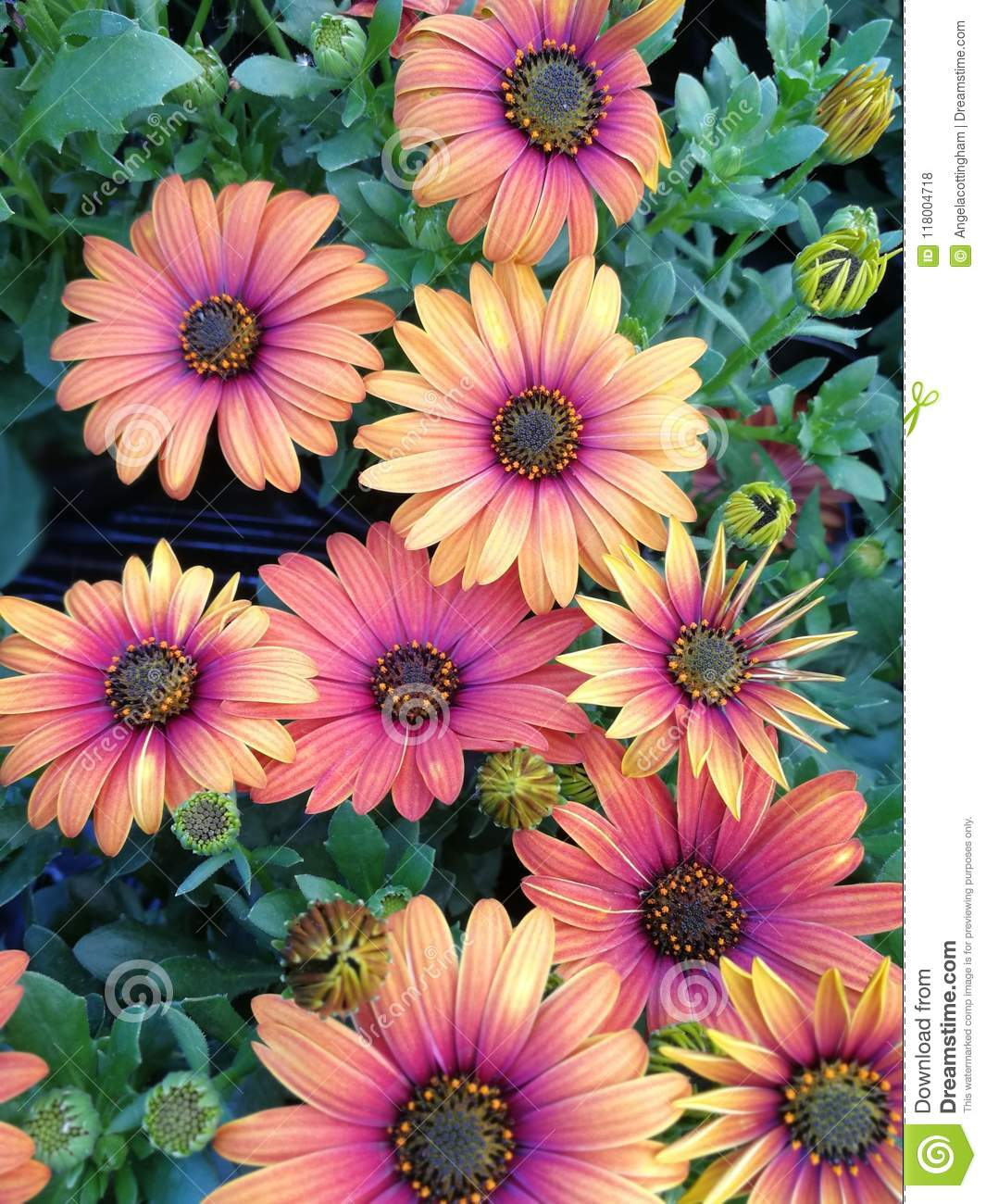 Yellow and purple osteospermum african daisy flowers stock photo bright yellow and purple african daisies osteospermum blooming with buds and green leaves izmirmasajfo