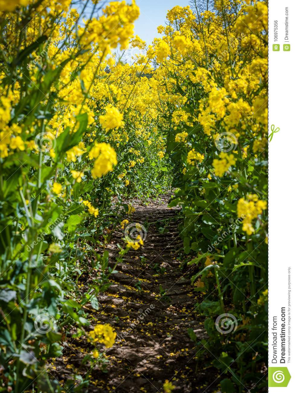 Bright yellow rapeseed field blossom in spring