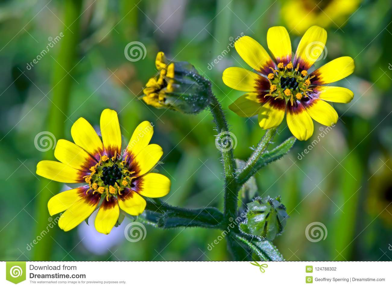Bright Yellow And Red Flowering Herb Stock Photo Image Of