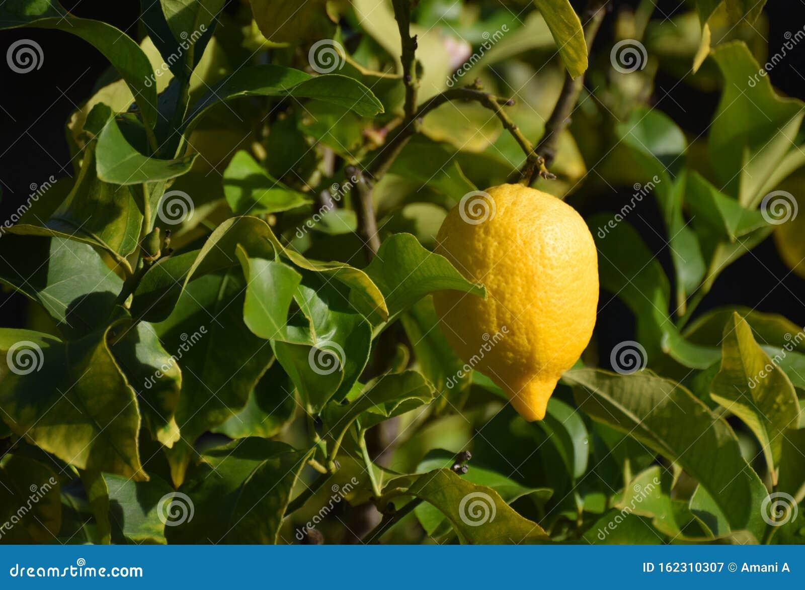 Ripe lemon hanging on a tree