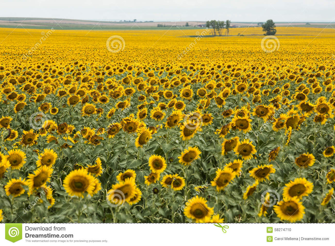 Bright Yellow Sunflower Field In South Dakota Stock Photo