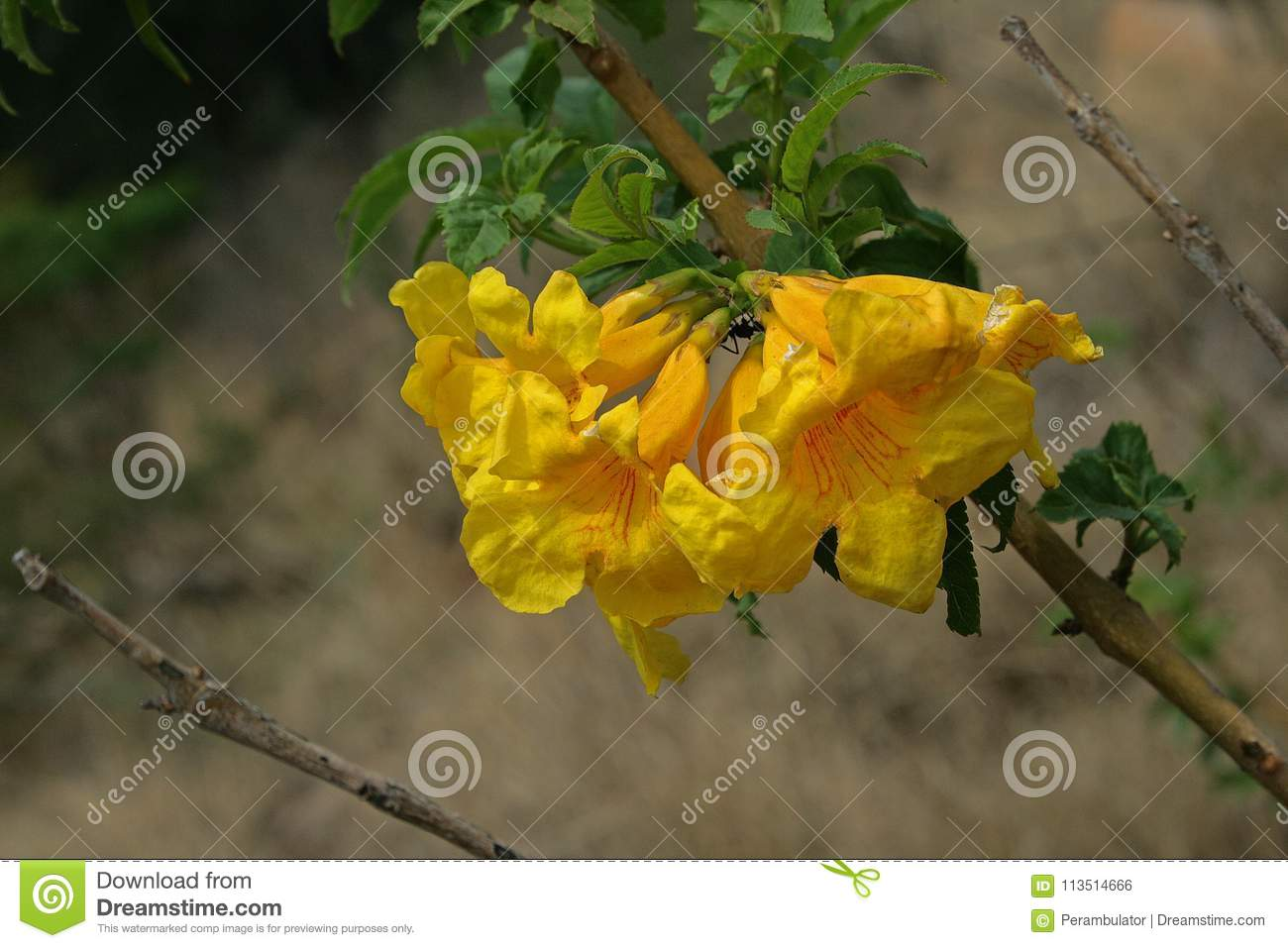 Bright Yellow Trumpet Flowers Stock Photo Image Of Trumpet Shrub
