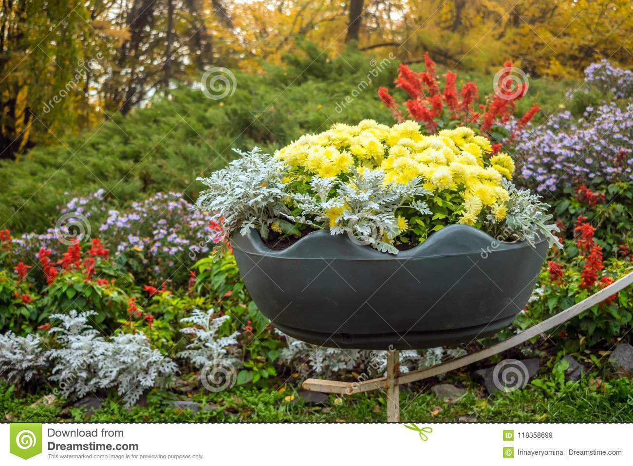 Bright yellow varietal chrysanthemums in a big pot with background of a bright flowerbed in park. Floral decor of chrysanthemums