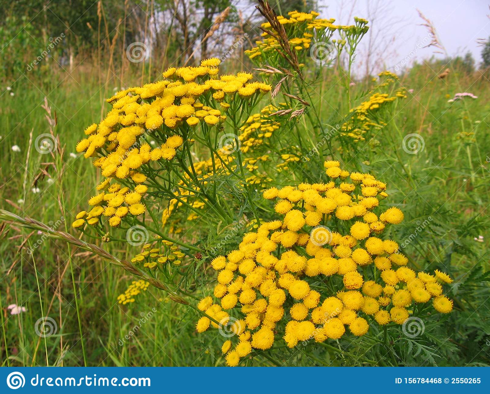Bright yellow wildflowers tansy grow in the field in the summer in the grass
