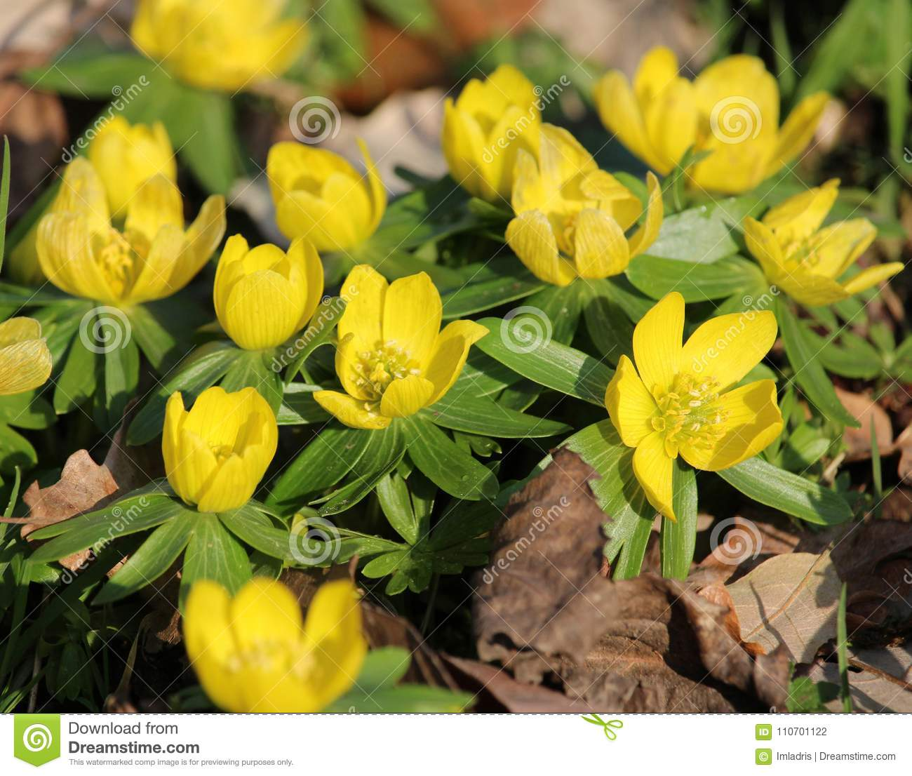Bright Yellow Wood Anemone Flowers Stock Photo Image Of Blossom