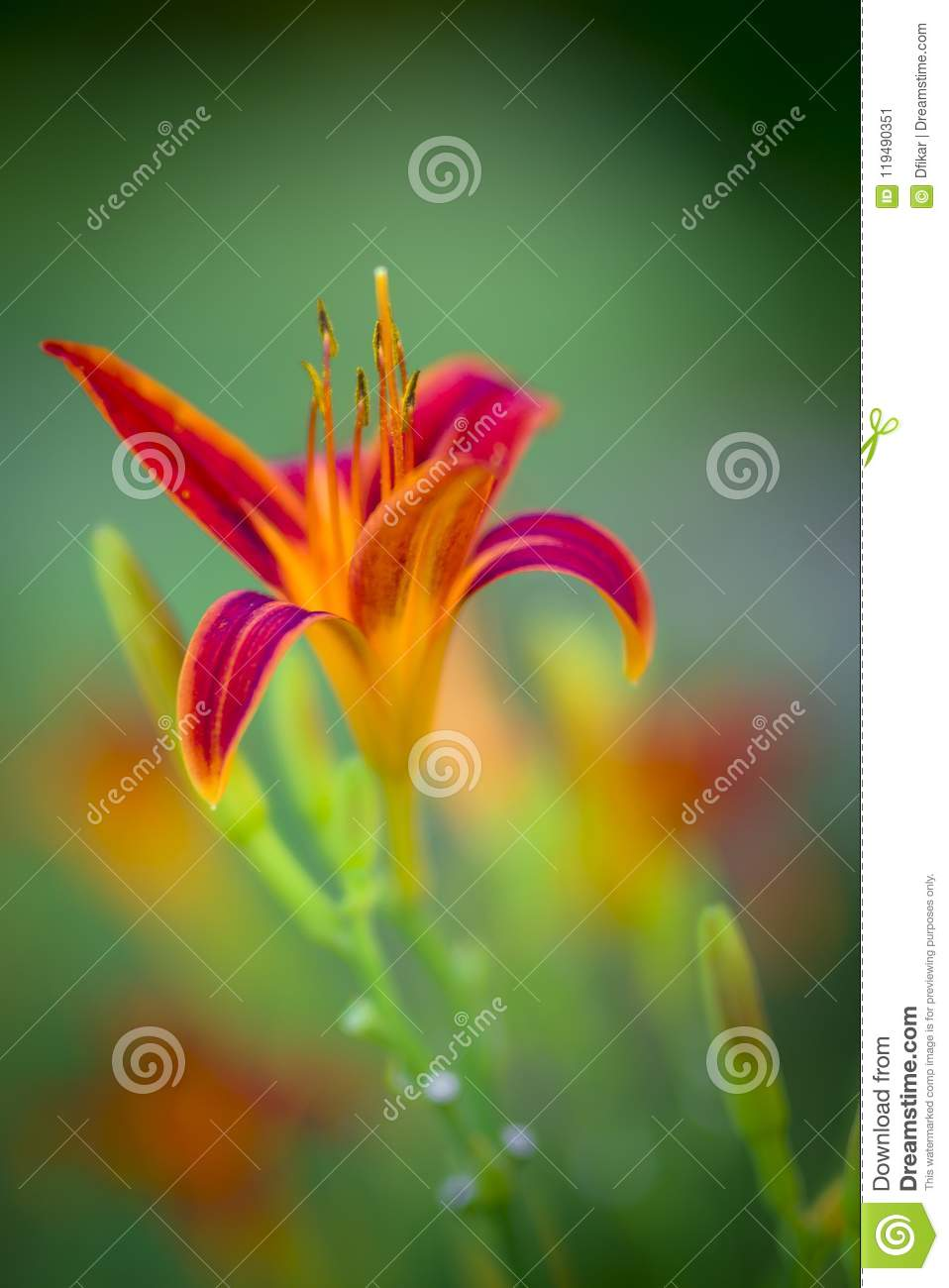 e15f5557f4391 Yellow-orange Lillies In Early Morning Light Stock Image - Image of ...