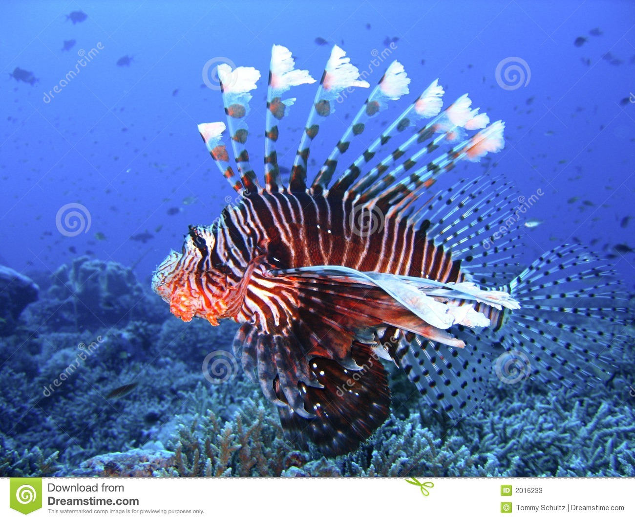 Brightly colored lion fish in deep blue water stock image for Deep water fish