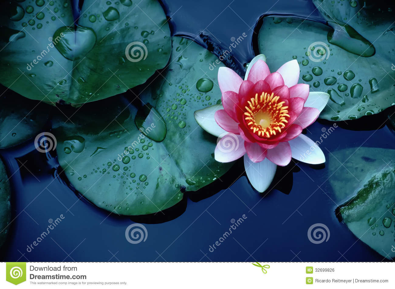 Brightly colored water lily or lotus flower floati stock photo brightly colored water lily or lotus flower floati izmirmasajfo