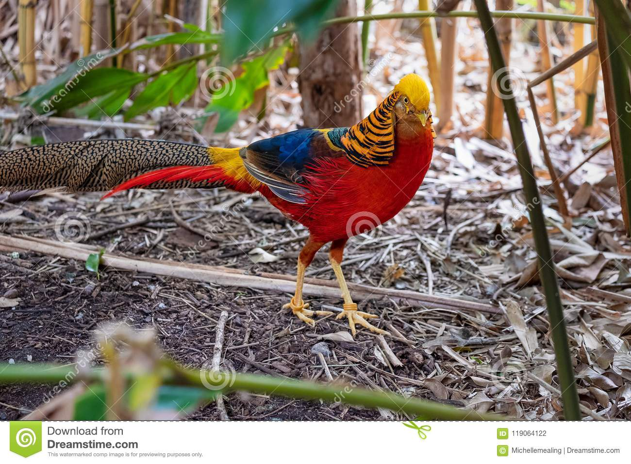 Brightly coloured male Golden Pheasant