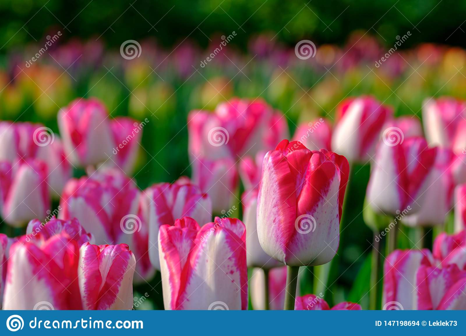 Brightly coloured pink and white tulips on display at Keukenhof Gardens, Lisse, South Holland