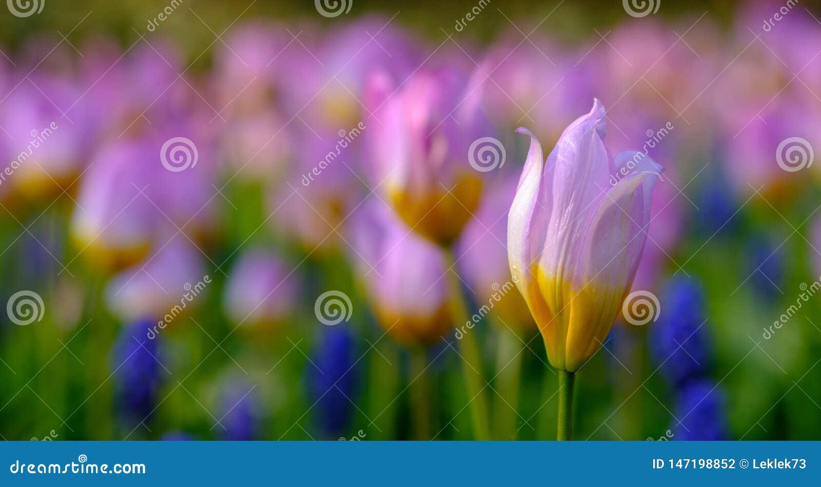 Brightly coloured tulip at Keukenhof Gardens, Lisse, South Holland