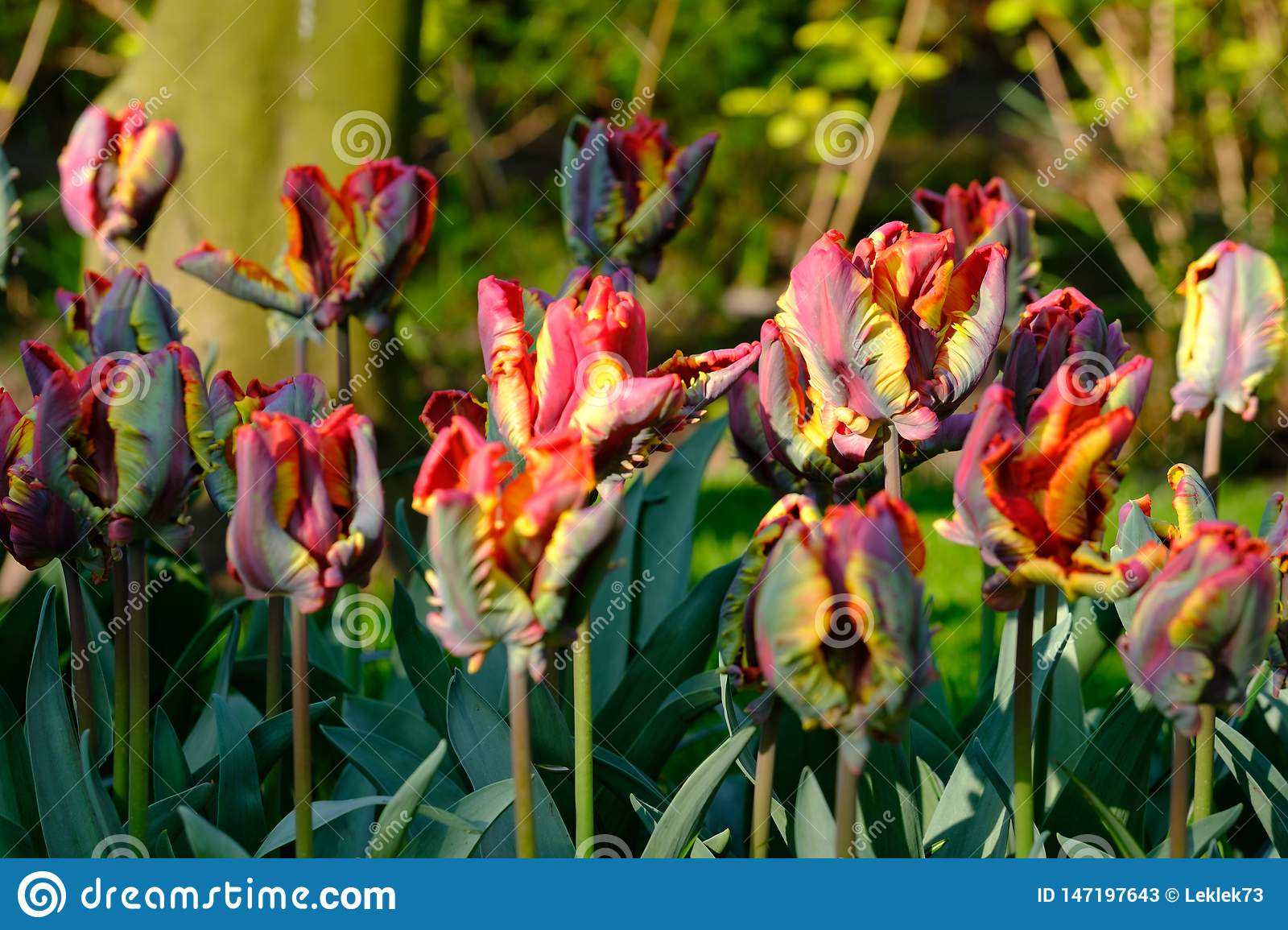 Brightly coloured tulips at Keukenhof Gardens, Lisse, South Holland