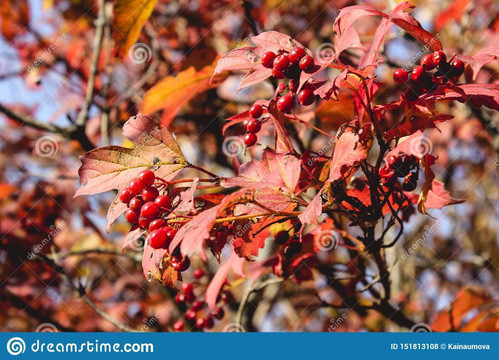 Brightly red ashberry bush rowan tree with red leaves on a blue sky in September, sunny autumn days