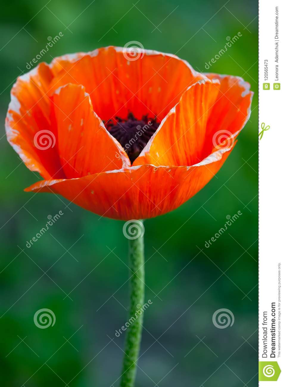 A brightly red poppy flower with a blurred background petals like a brightly red poppy flower with a blurred background petals like flames mightylinksfo