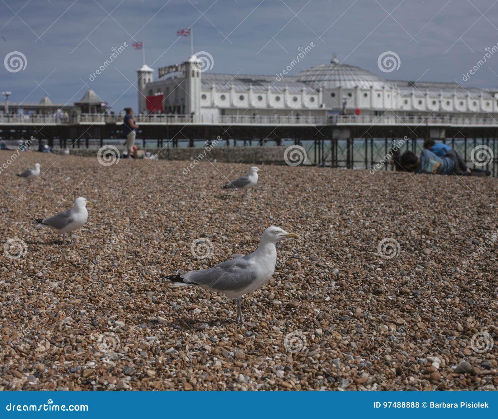 Brighton, Inghilterra - gabbiani sui ciottoli