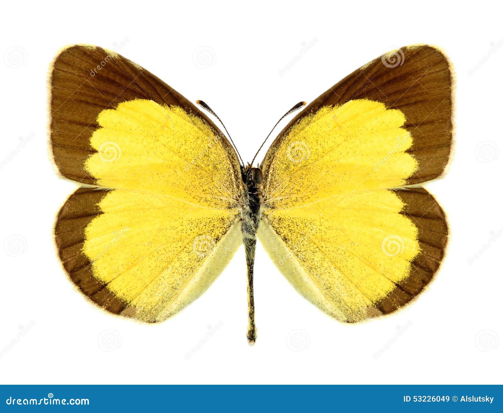 Brigitta de Eurema de la mariposa (femenino)