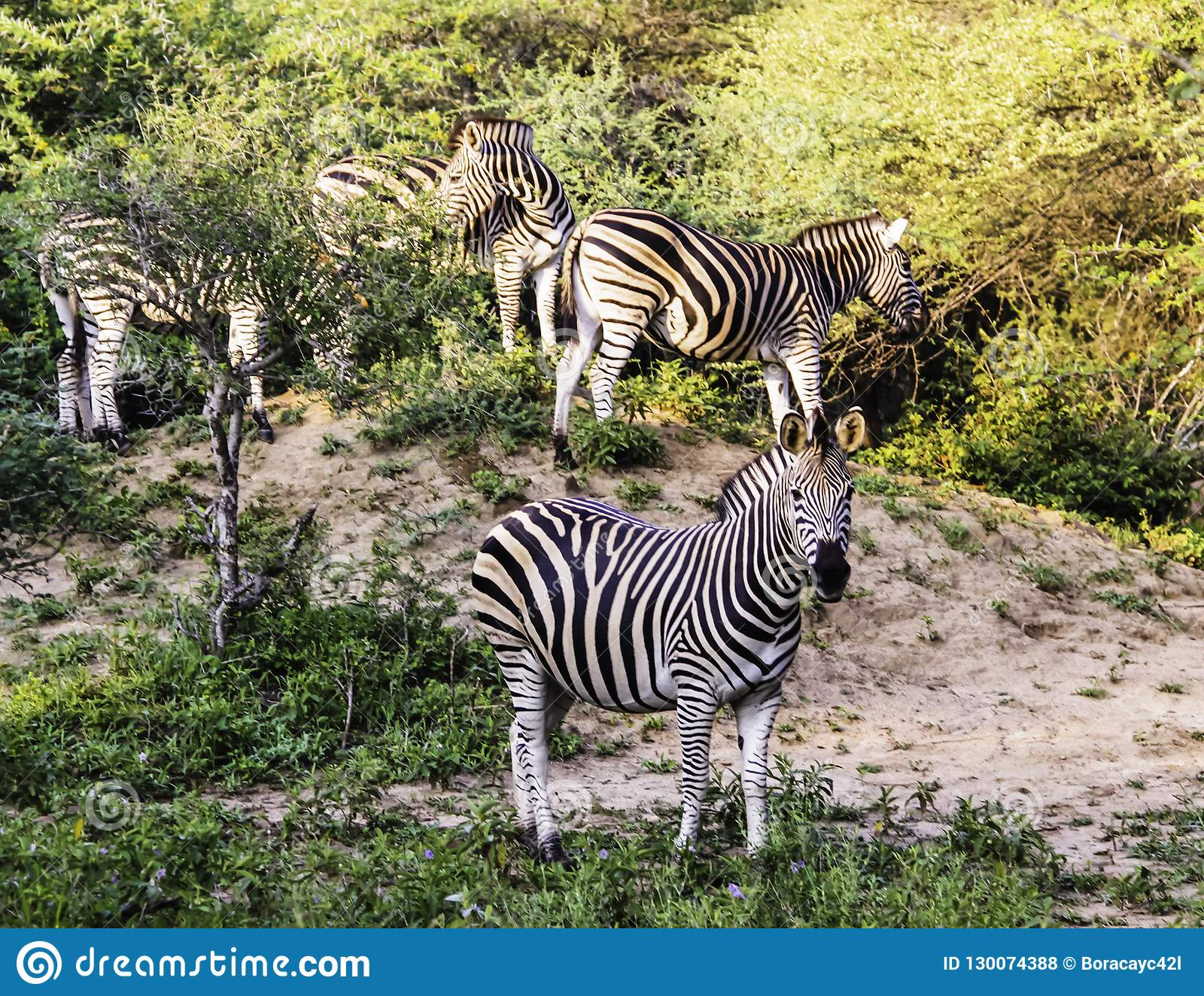 Brilhe da zebra de Burchell