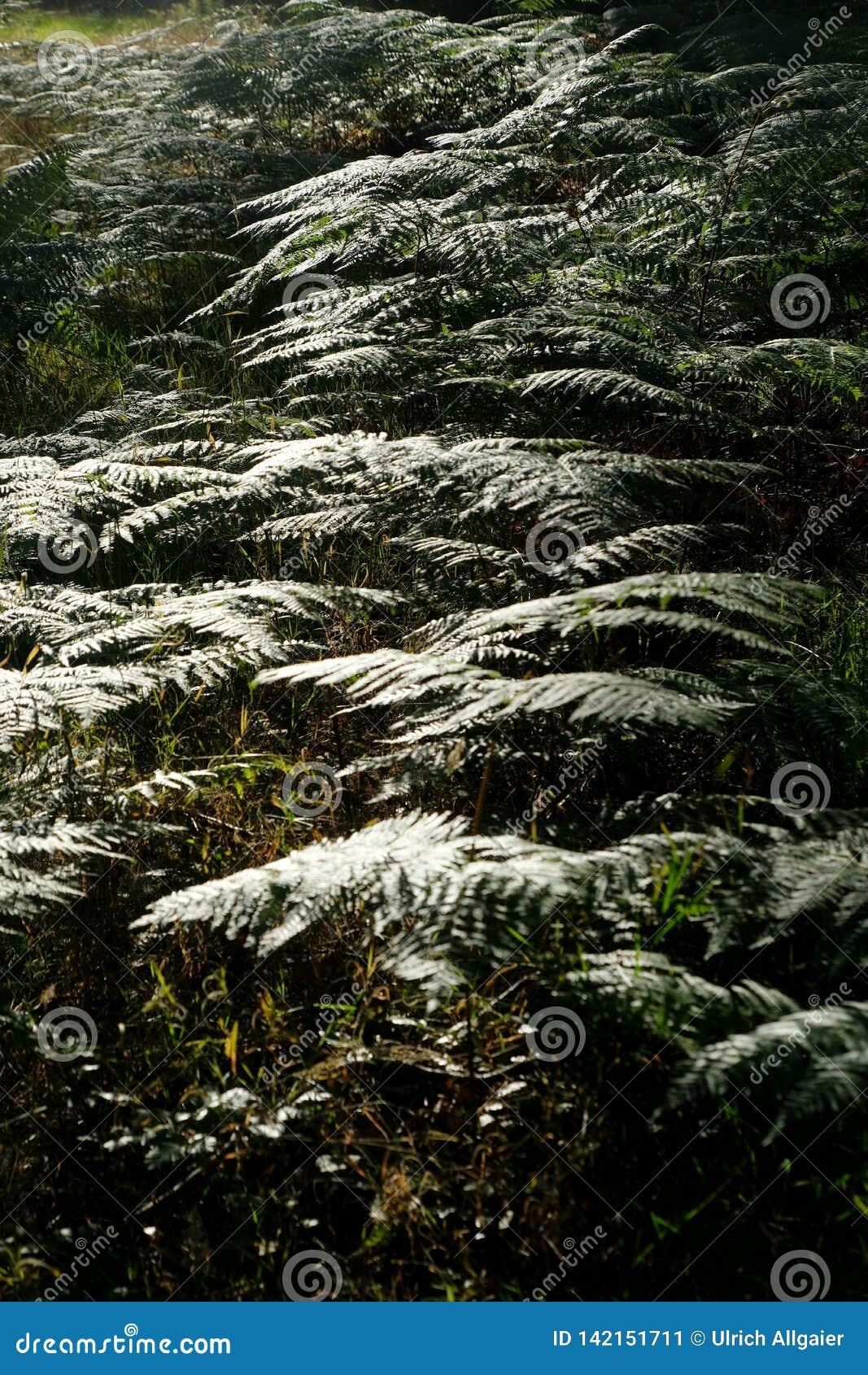 Brillant, fougère se reflétante dans la forêt dans la lumière arrière