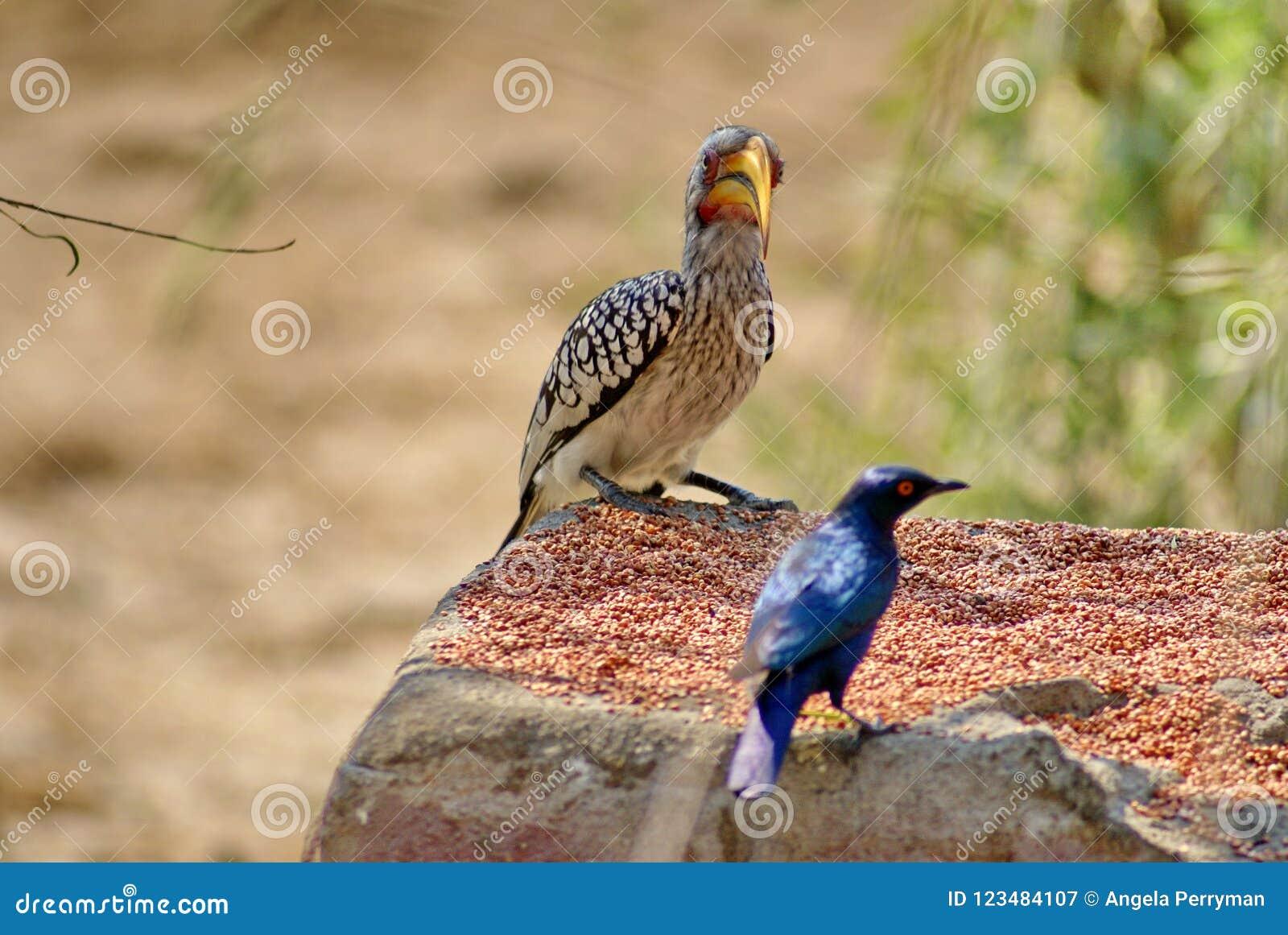 Brillante-estornino hornbill y del ` amarillo-cargados en cuenta meridionales s de Meves en un alimentador