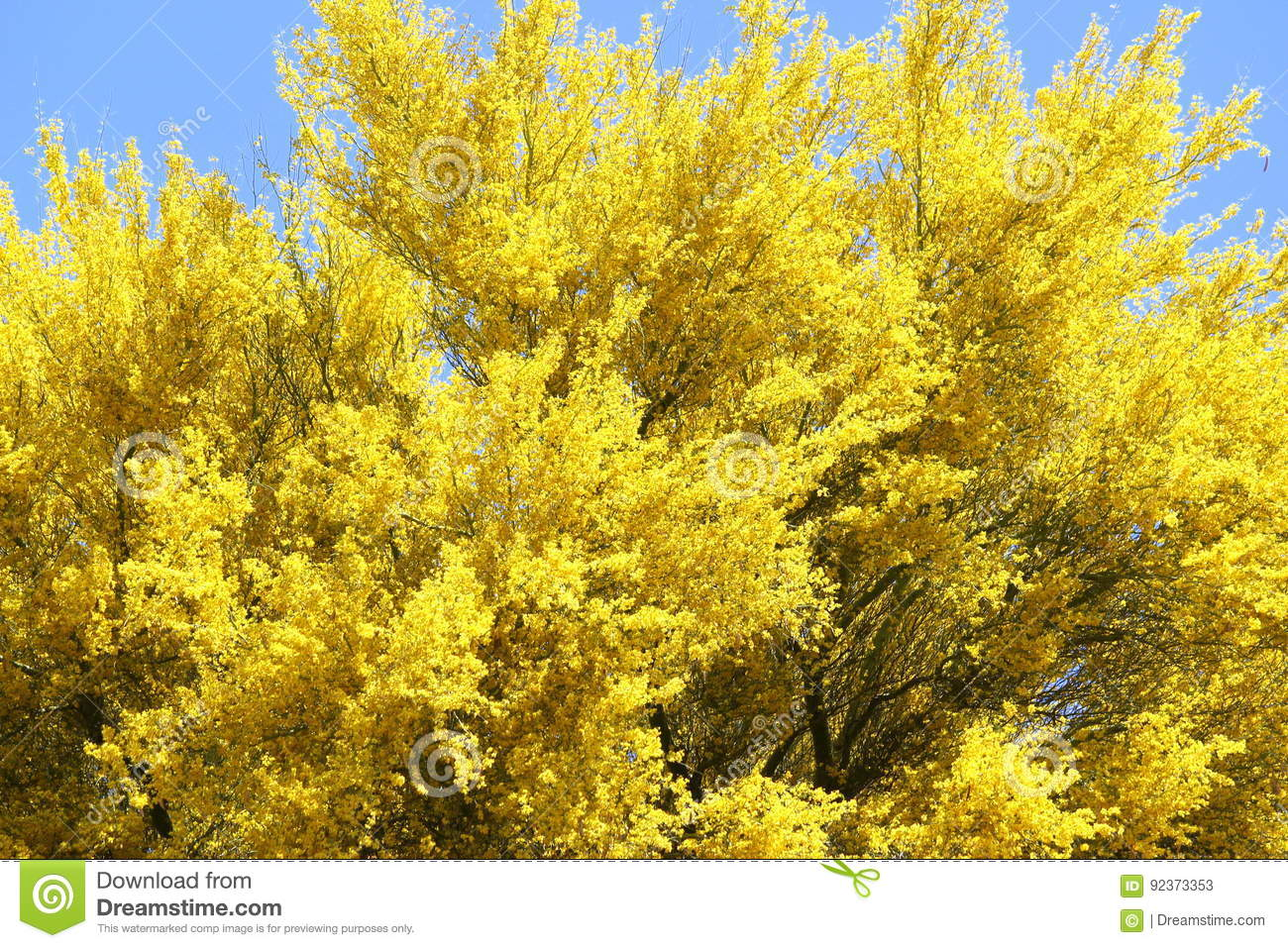 Brilliant Bright Yellow Blooming Palo Verde Tree In The Desert Of