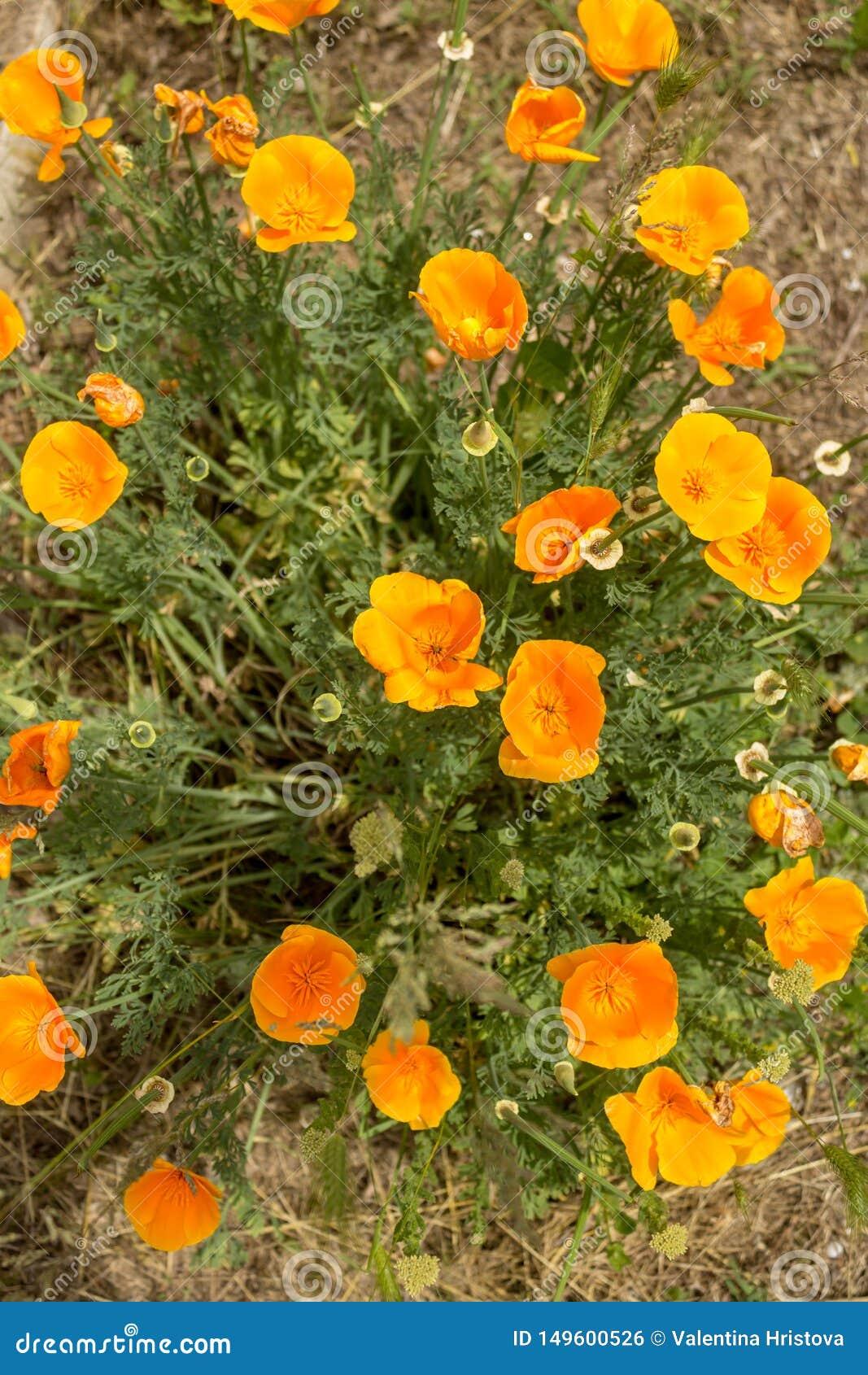 Brilliant buttercup yellow flowers of Eschscholzia californica Californian poppy,golden poppy, California sunlight, cup of gold