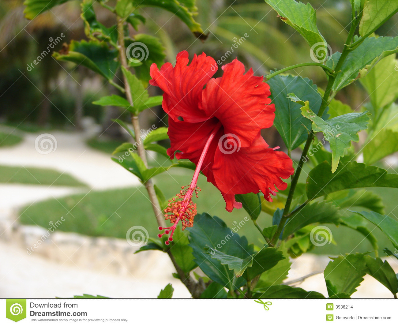 Brilliant Red Hibiscus Stock Photo Image Of Garden Brilliant 3936214