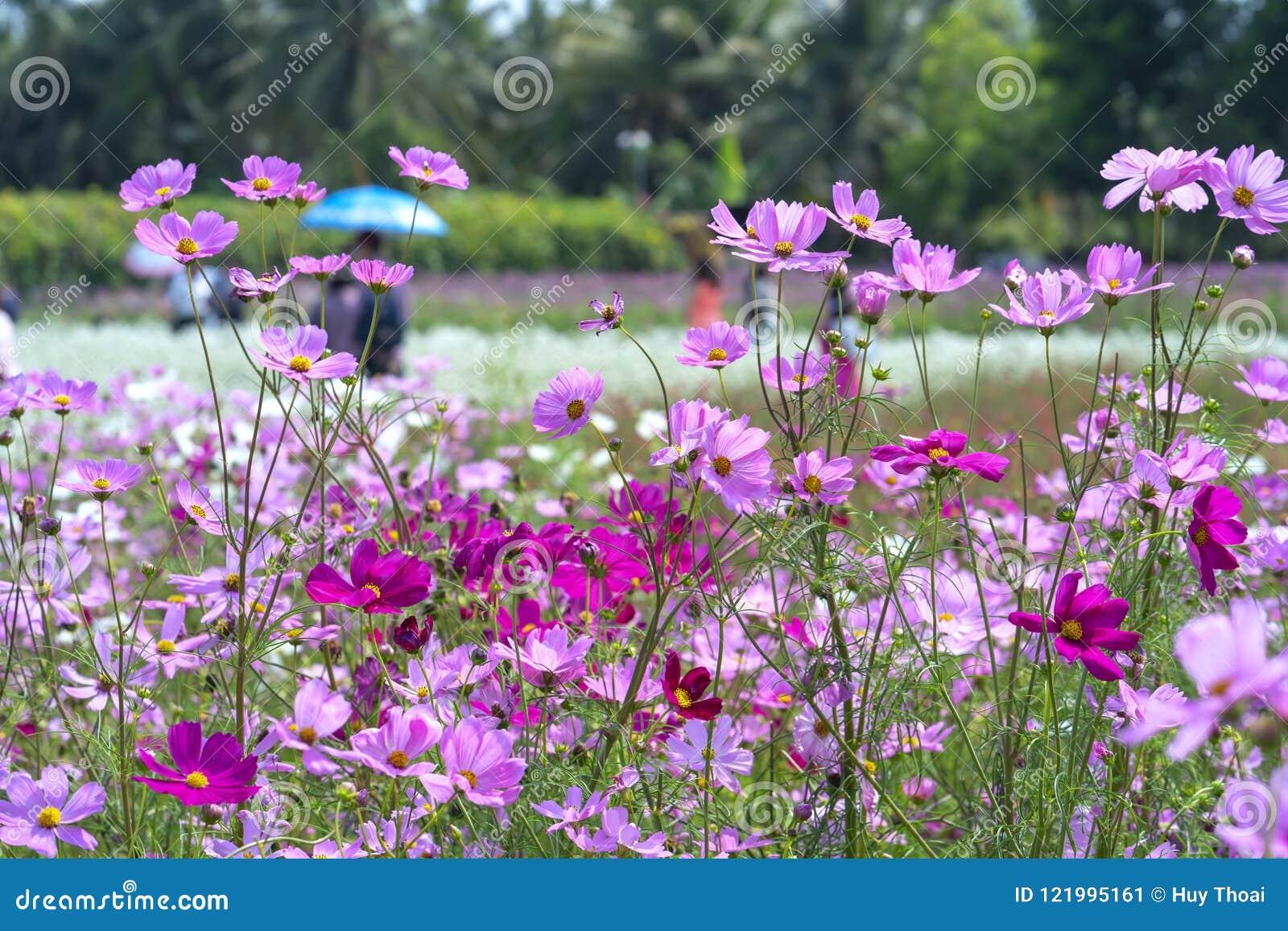 Brillo De Las Flores Del Bipinnatus Del Cosmos En El Jardín De ...