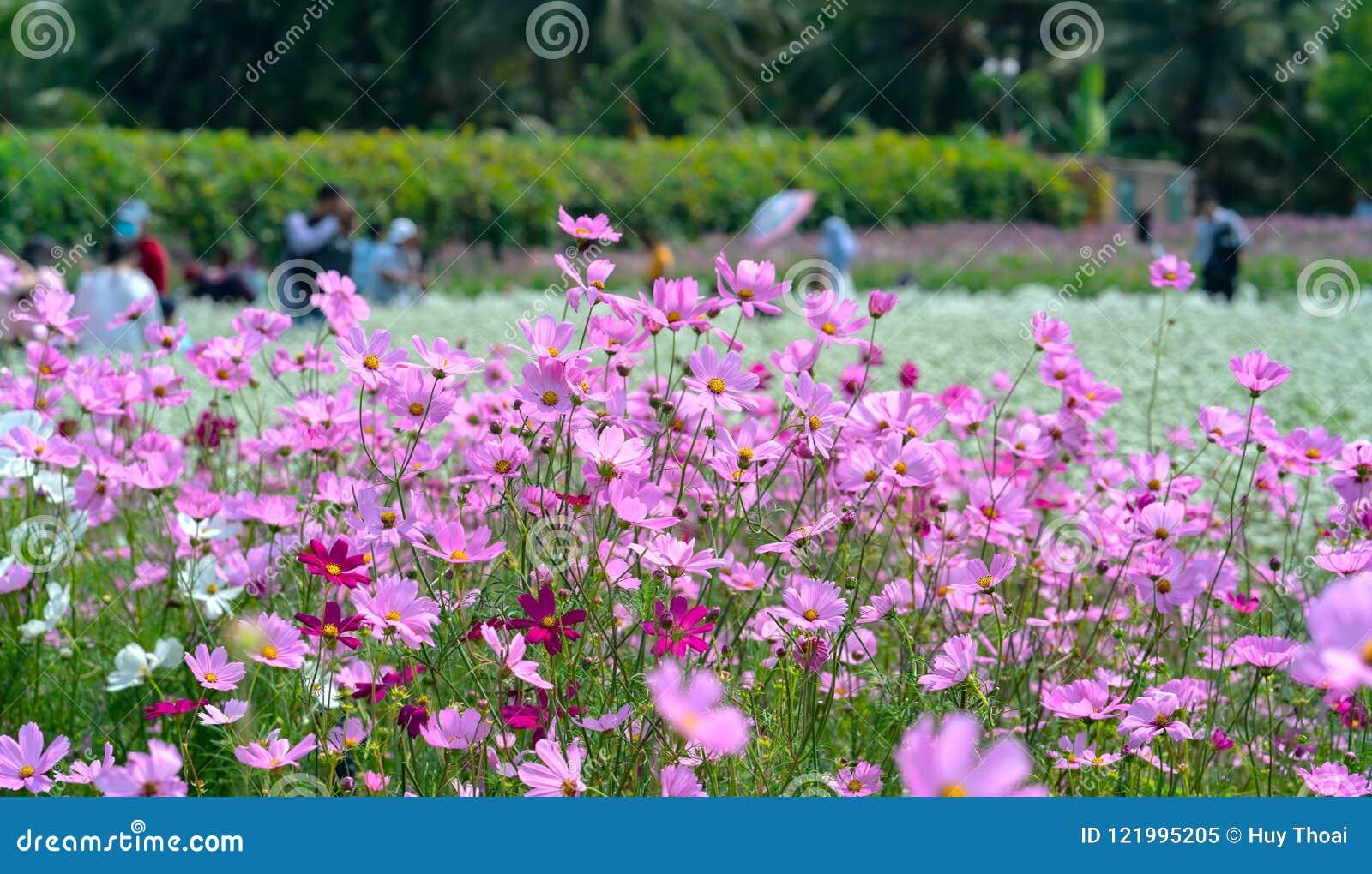 Brillo De Las Flores Del Bipinnatus Del Cosmos En El Jardín ...