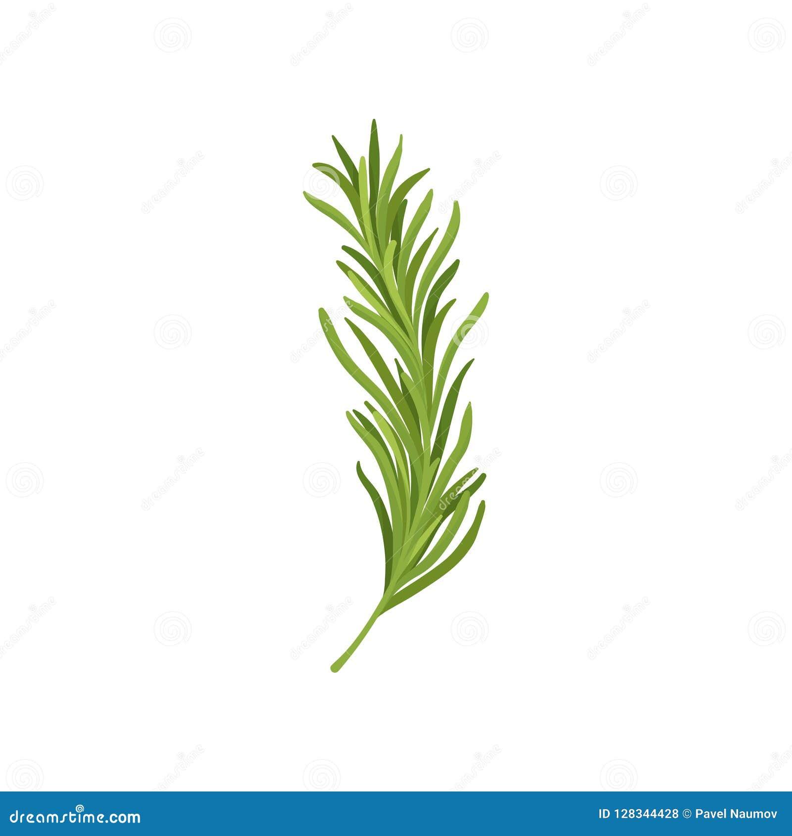 Brin de romarin vert Herbe fraîche utilisée dans culinaire Ingrédient organique pour les plats de assaisonnement Conception plate