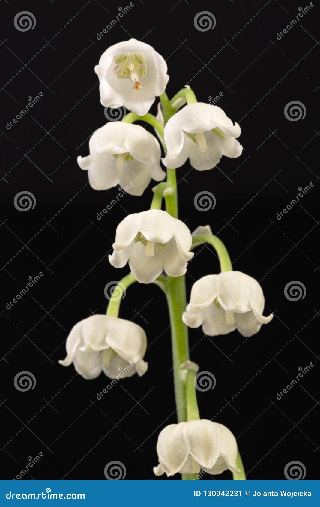 Brindille simple des fleurs de ressort du muguet d isolement sur le fond noir