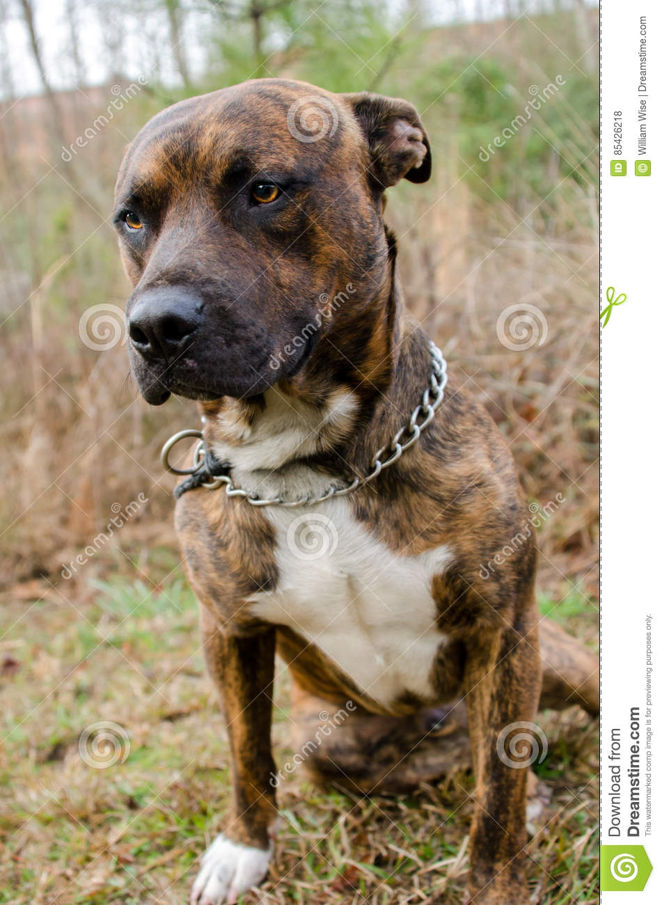 Dog Breeds That Are Reverse Brindle