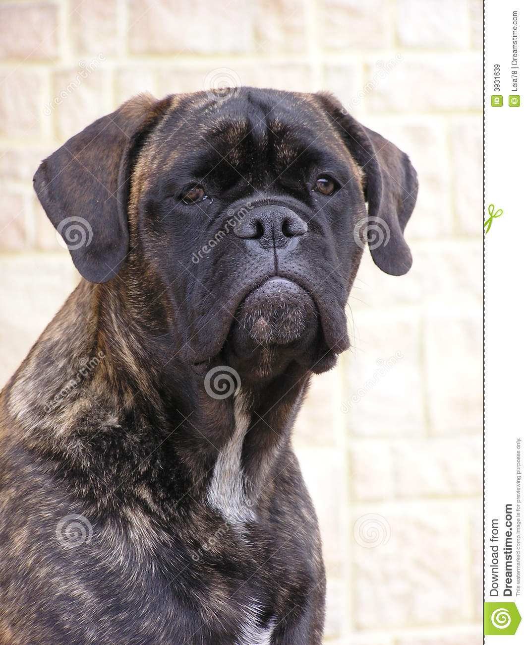 Brindle Bullmastiff Royalty Free Stock Images - Image: 3931639