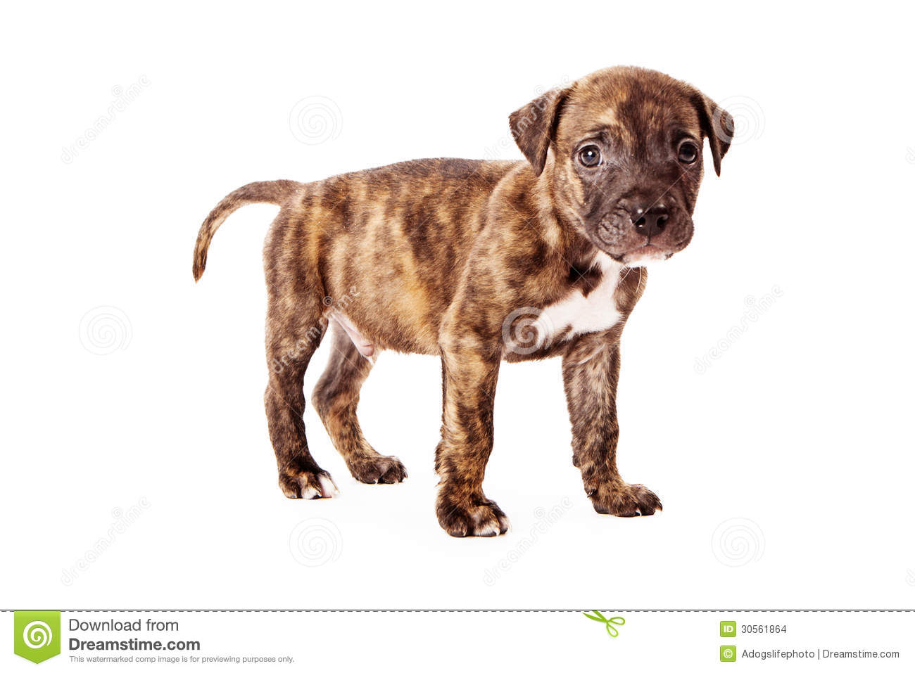 cute eight week old puppy with brindle coloring standing against a ...