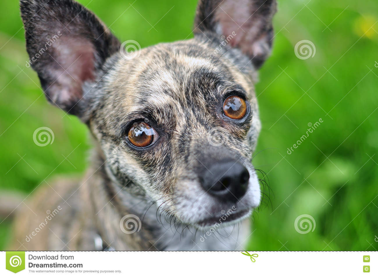 Brindle Chihuahua Stock Photos - Royalty Free Stock Images