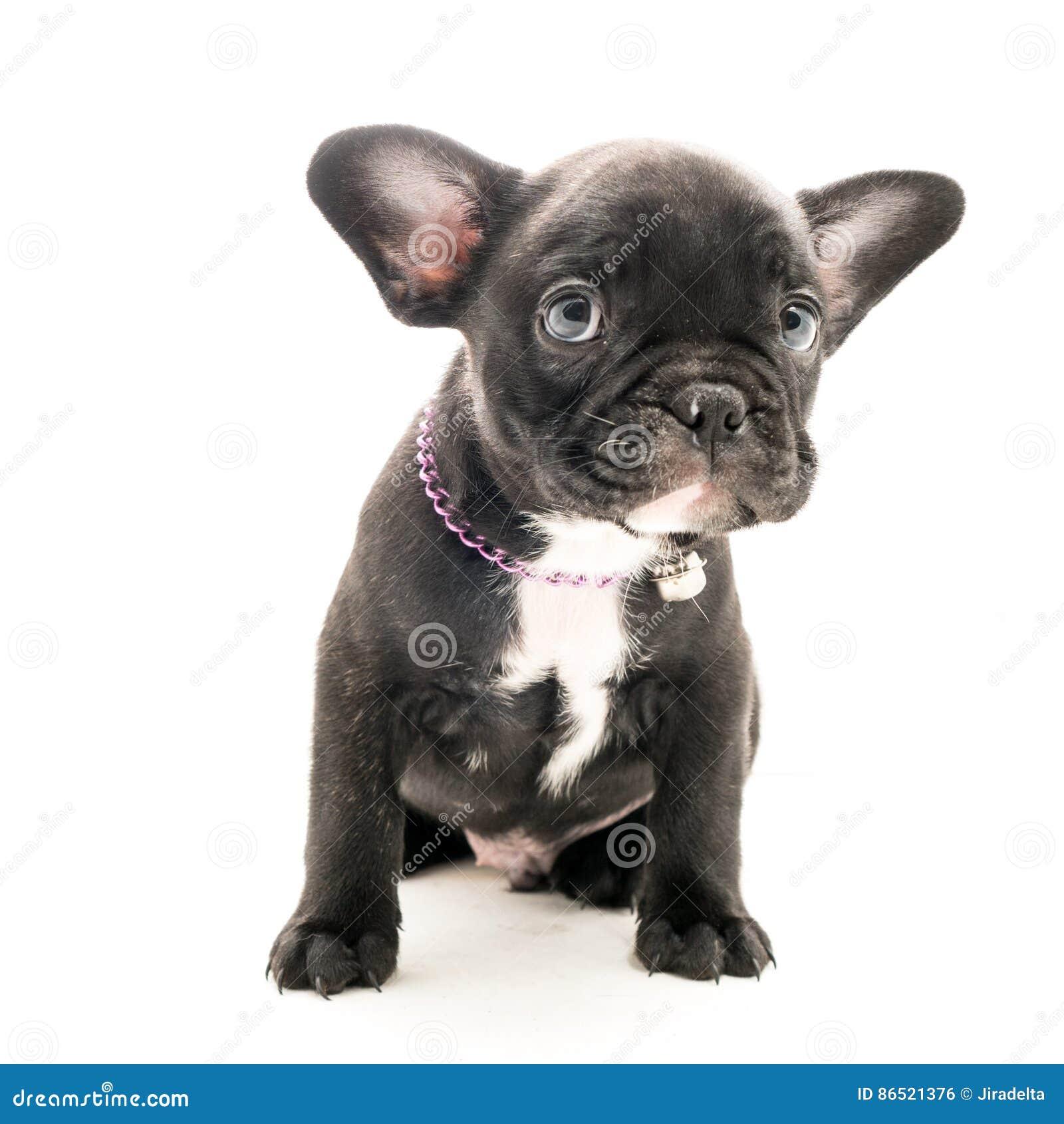 Brindle French Bulldog Puppy Stock Photo Image Of Studio