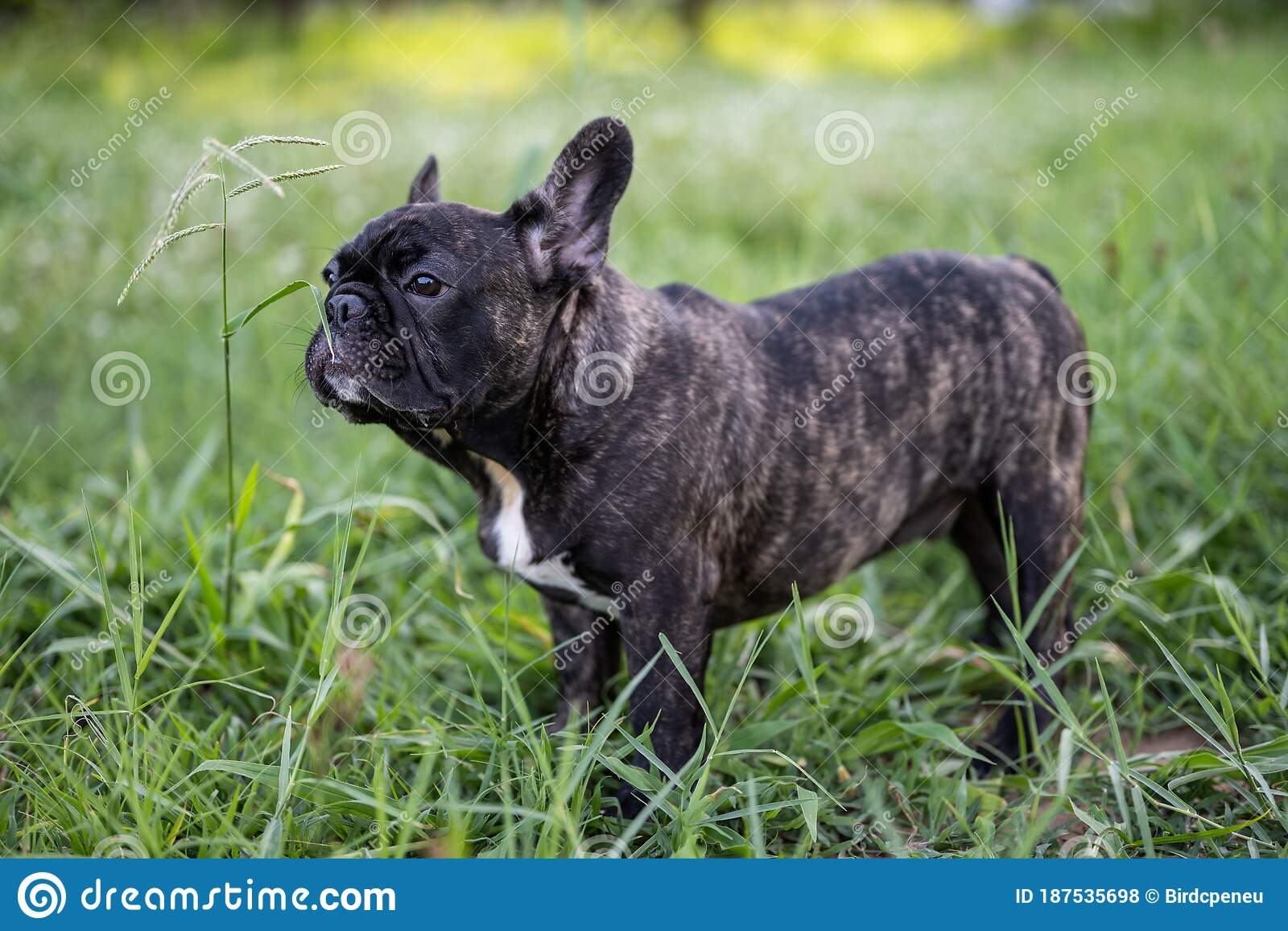 Brindle French Bulldog Puppy Standing Alone Outdoor Stock Photo Image Of Male Closeup 187535698