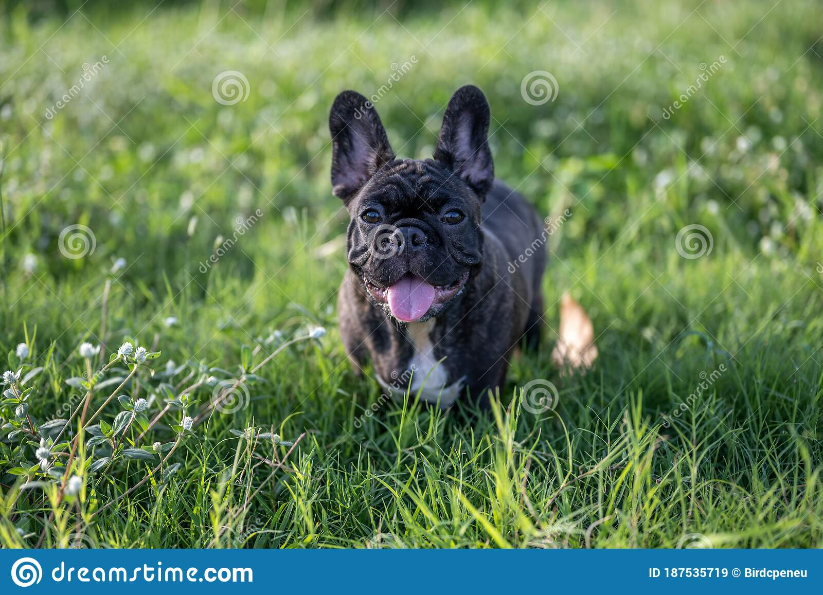 Brindle French Bulldog Puppy Standing Alone Outdoor Stock Image Image Of Outdoors Field 187535719