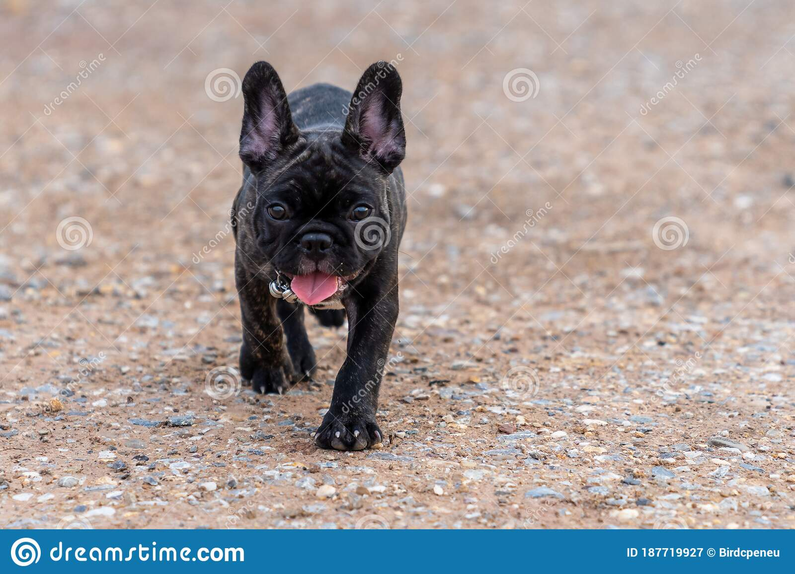 Brindle French Bulldog Puppy Standing Alone Stock Image Image Of Grass Closeup 187719927