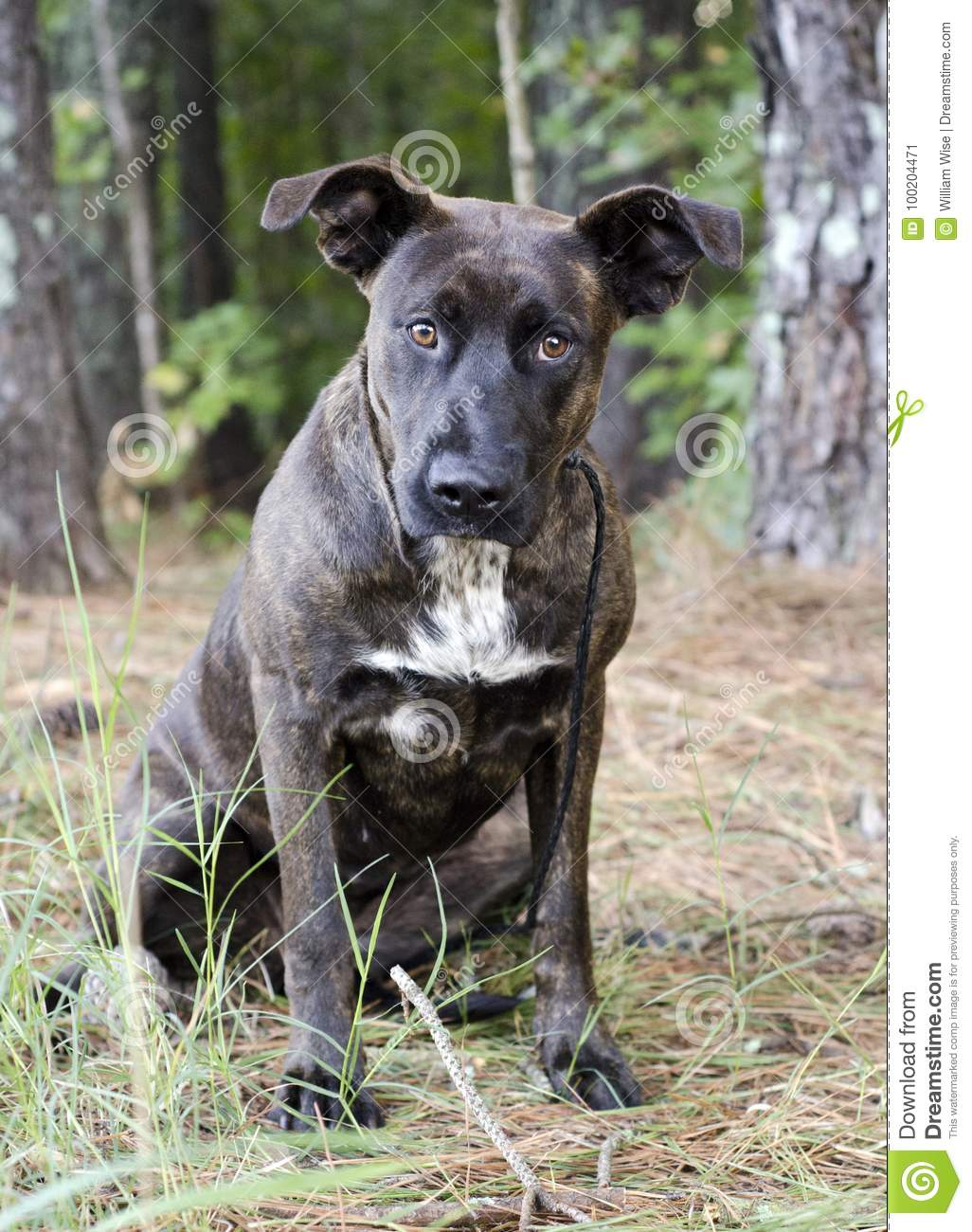 brindle great dane mixed breed dog stock image image of mixed
