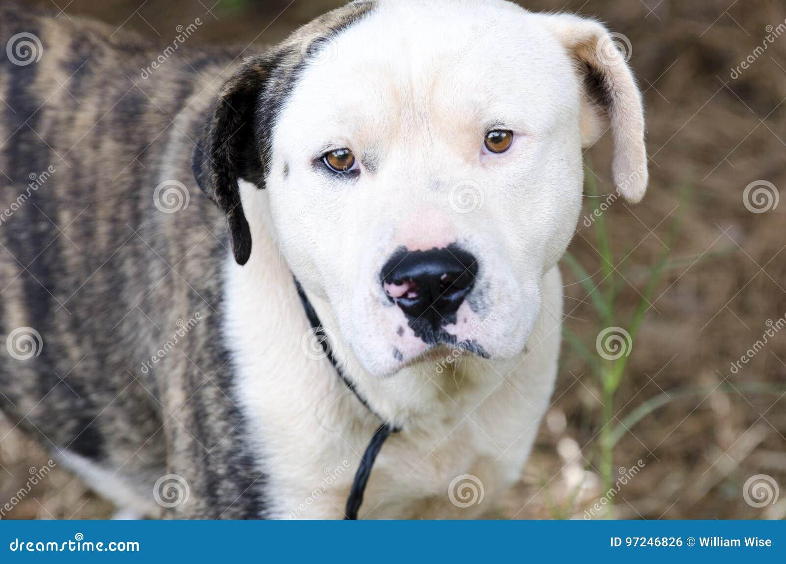 Brindle and white American Bulldog Anatolian mixed breed dog