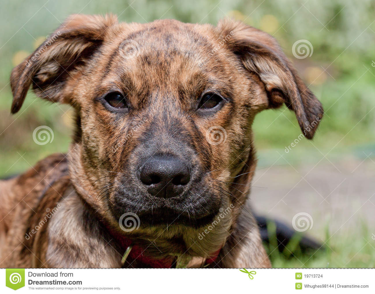 Brindled Plott hound puppy stock photo. Image of brindle ...