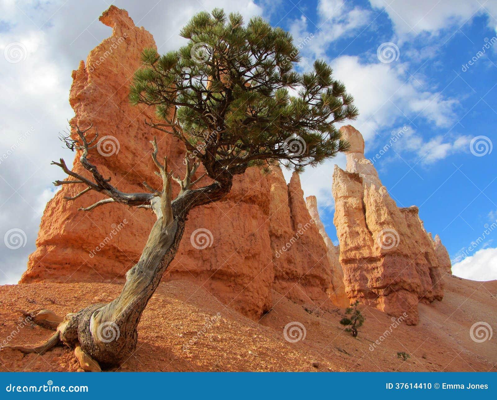 bristlecone pine bryce canyon stock photo image 37614410