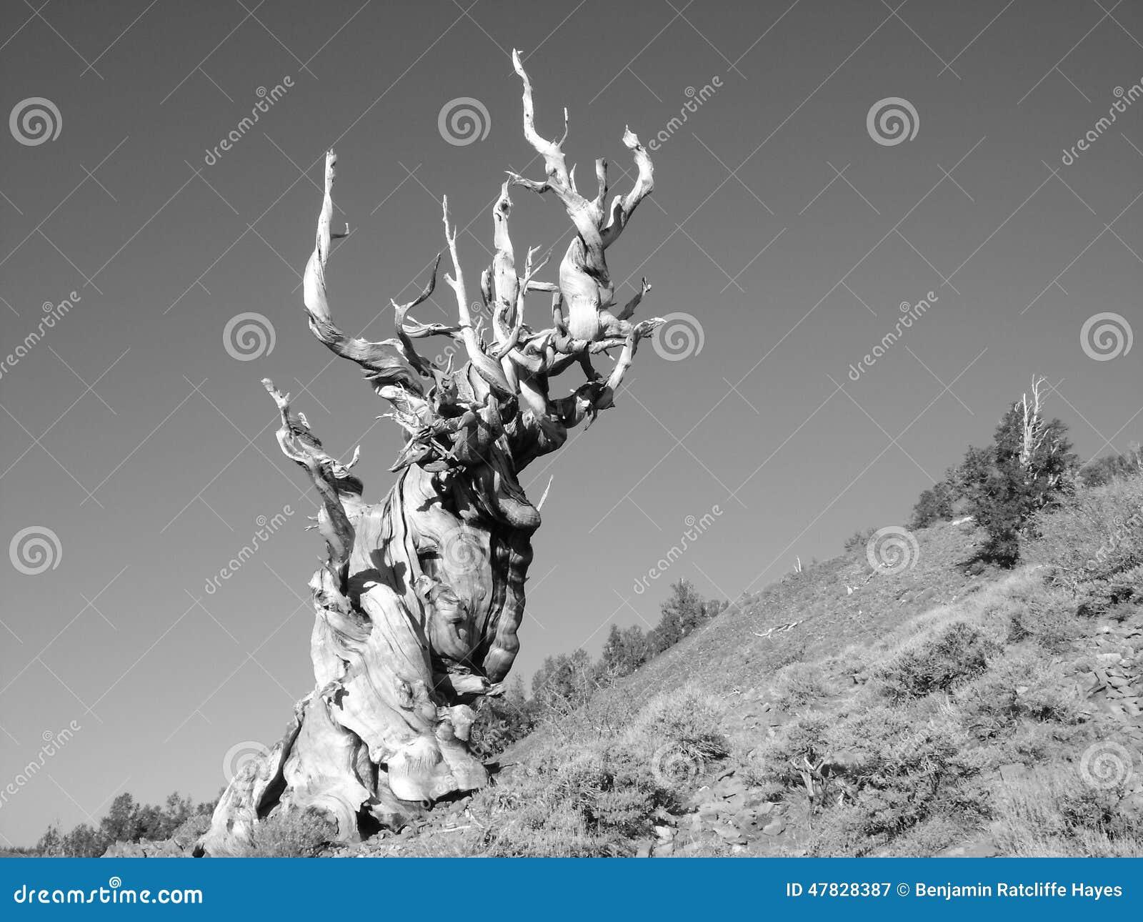 Bristlecone Pine Stock Photo - Image: 47828387