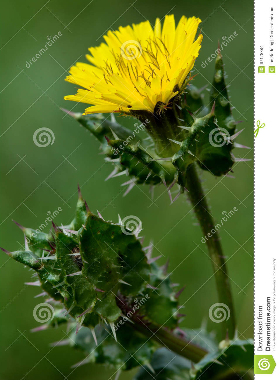 Bristly oxtongue picris echioides stock photo image of picris royalty free stock photo mightylinksfo Gallery
