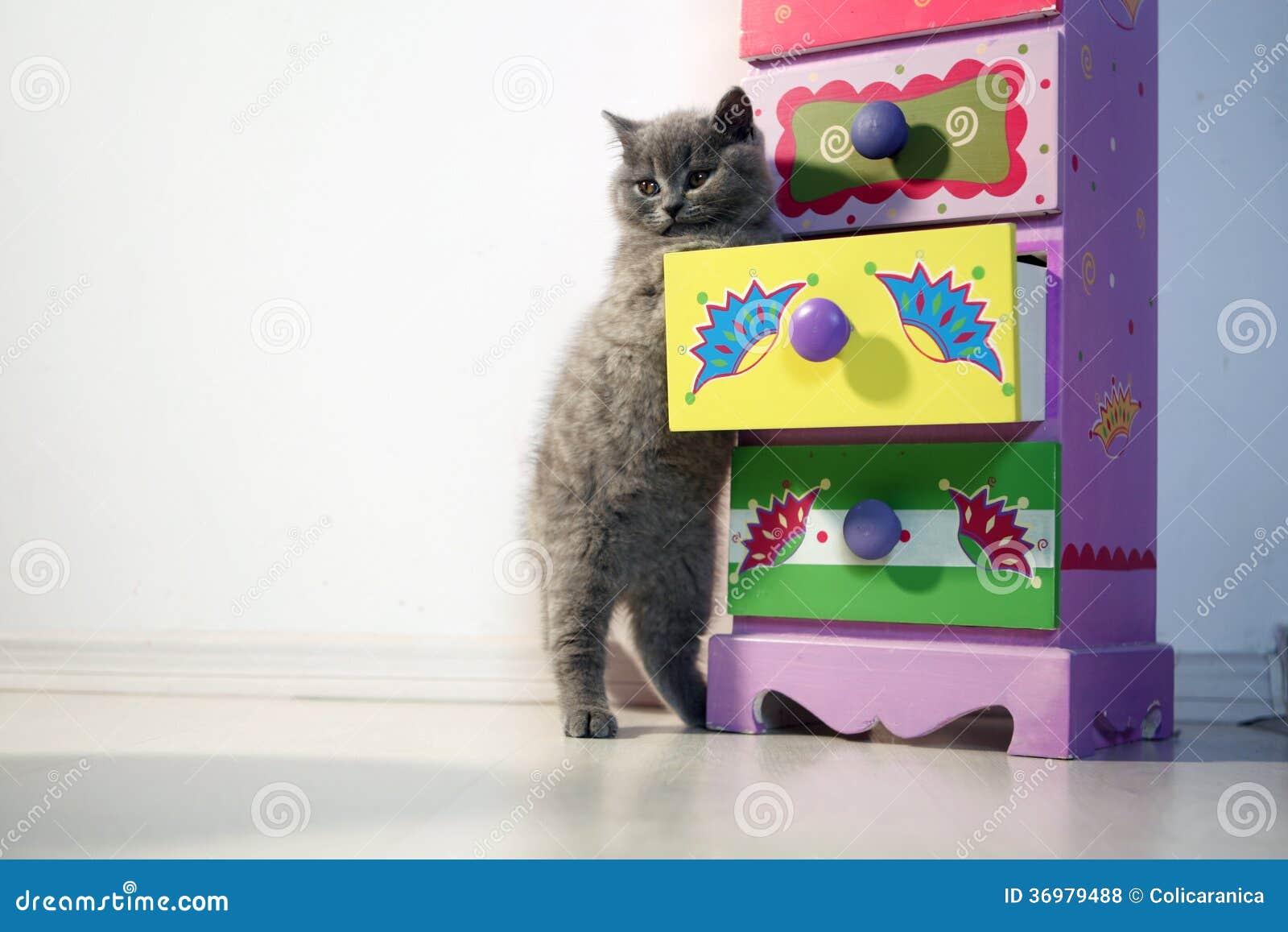 Britisch Kurzhaar-Kätzchen