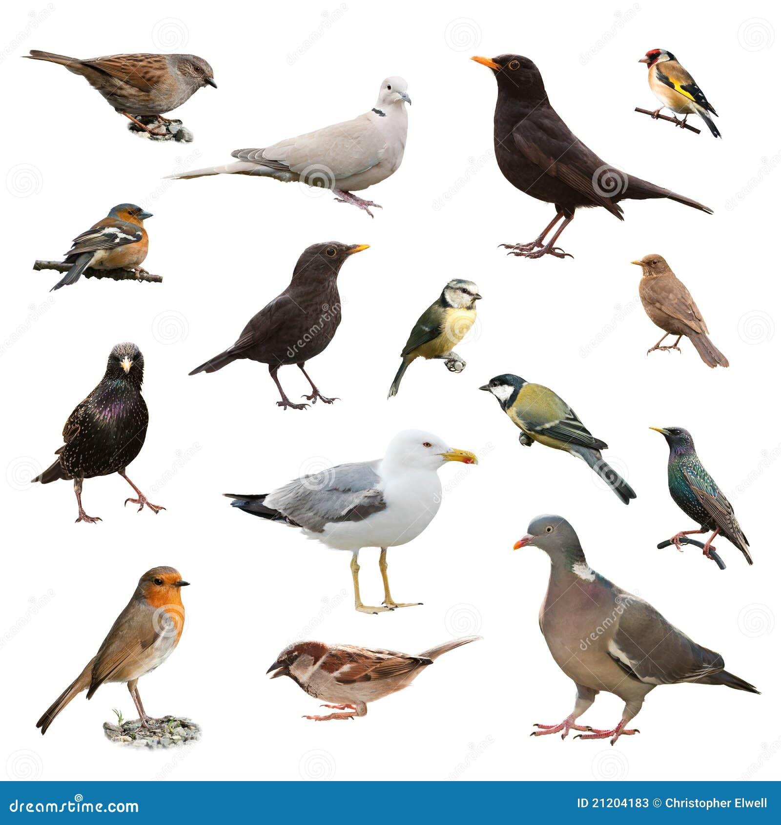 Collage der britischen Gartenvögel getrennt auf weißem Hintergrund.